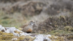 Dotterel - Great Orme, Wales