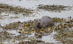 Mull 2018 - Otters