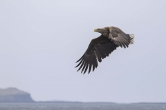 Mull 2019 - White Tailed Sea Eagle