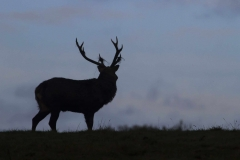Studley Royal - Red Deer